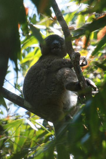 The greater bamboo lemur is currently listed as Critically Endangered. Only around 500 individuals survive in the wild. Photo by: Rhett A. Butler.