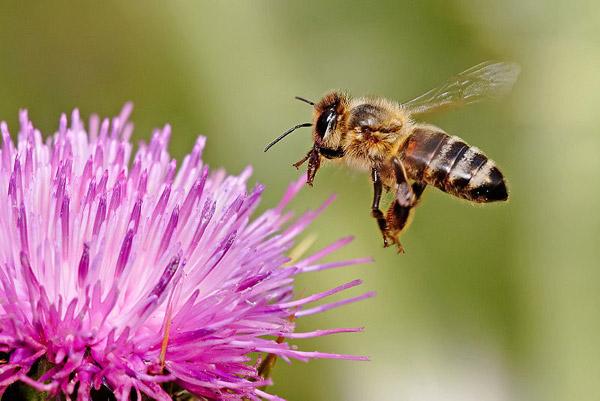 Honeybee on a milk thistle flower. Photo by: Fir0002/Flagstaffotos