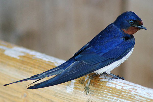The barn swallow was one of 15 birds studied by the scientists. Photo by: Malene Thyssen.