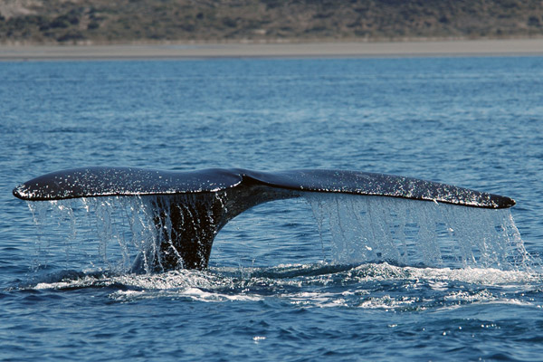 Southern right whales are abundant off of Península Valdés. Photo by: G. Harris/WCS.