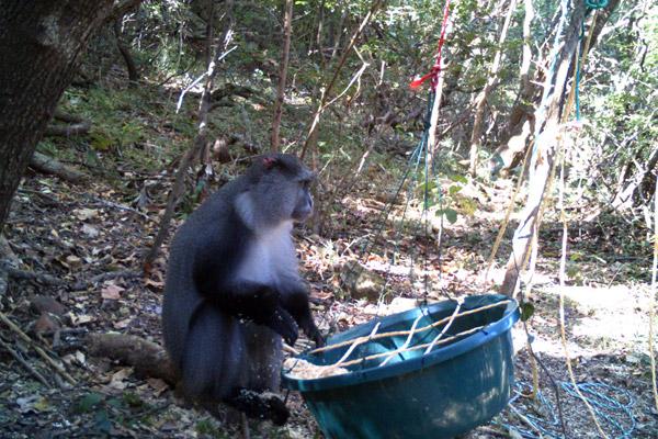 Samango monkey at a feeding station on the ground. Photo courtesy of: Katarzyna Nowak.