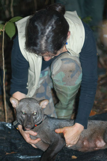 Pitman with her first tagged female short-eared dog, Dominga in 2004. Photo courtesy of Renata Leite Pitman.