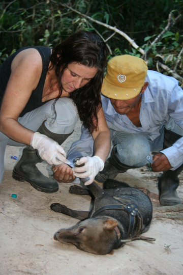 Before releasing Oso into the wild in 2010, Renata Leite Pitman (left) and Emeterio Nuñonca Sencia (right) do one last check-up. Photo courtesy of Renata Leite Pitman.