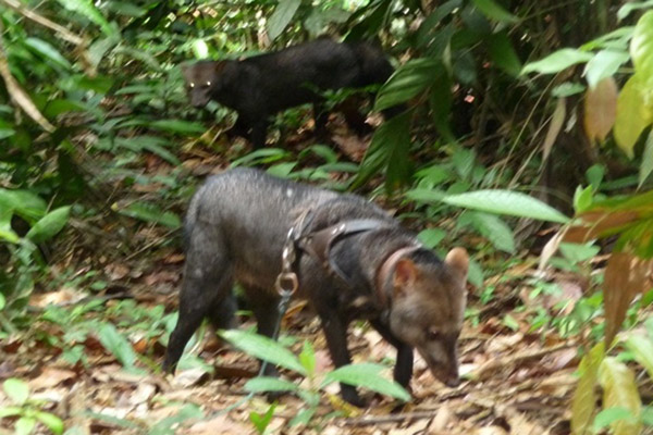 During one of the walks with Oso on a leash to accustom him to the forest, he was followed by a wild female in heat for an hour. Photo courtesy of Renata Leite Pitman.