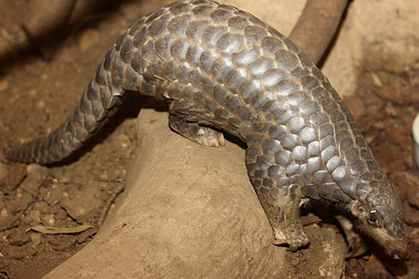 Over A Million Pangolins Slaughtered In The Last Decade