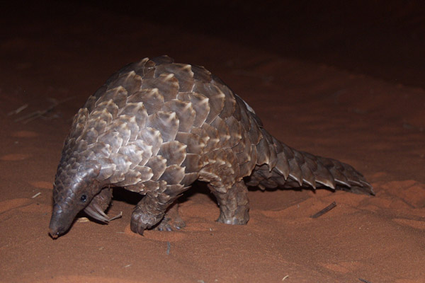 The ground pangolin (Manis temminckii) has been moved from Least Concern to Vulnerable. Photo by: APWG.