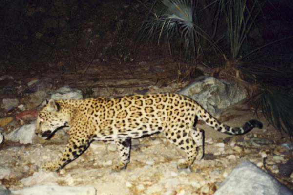 Corazón as a cub in 2006. Photo courtesy of the Northern Jaguar Project/Naturalia.