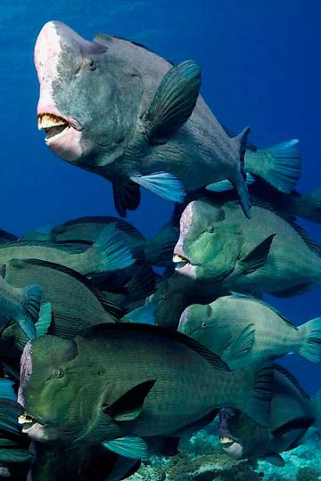 A school of bumphead parrotfish. Photo by: David Henshaw.