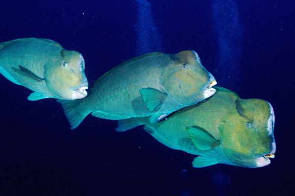 Bumphead parrotfish. Photo by: Klaus Stiefel.