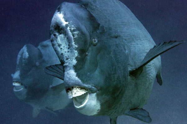 The decidedly odd-looking bumphead parrotfish is listed as Vulnerable. Photo by: Kurt Gross.