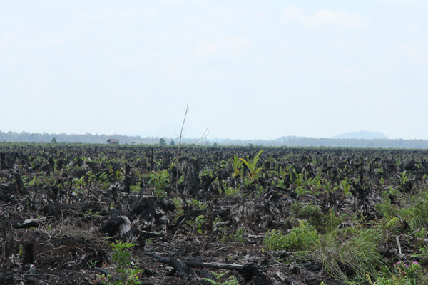 NRazed rainforest in Kalimantan. Photo courtesy of Anne-Sophie Pellier.