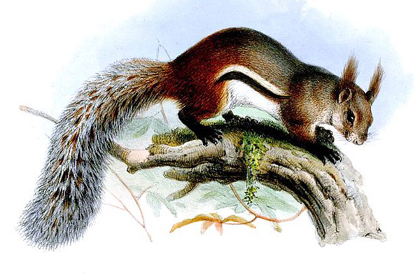 Painting of tufted ground squirrel from 1855. This was likely done from a specimen brought back from Borneo, hence the fact that the tail is considerably smaller than in life. Illustration by: Joseph Wolf.