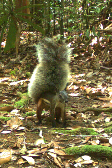 Tufted ground squirrel on camera trap. Photo by: Erik Meijaard.