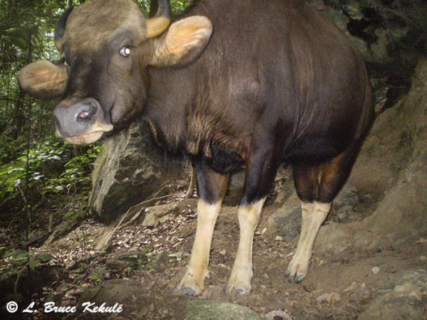 Gaur (Bos gaurus) in the sanctuary. These large bovids are listed as Vulnerable by the IUCN Red List. Photo by: Bruce Kekule