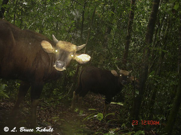 A herd of gaur. Photo by: Bruce Kekule.