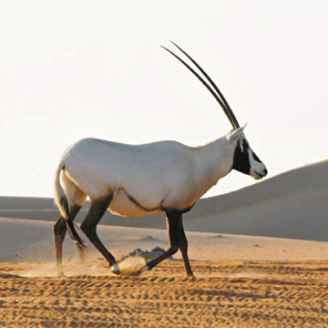 The Arabian oryx is the only species to date that has gone from Extinct in the Wild to Vulnerable on the IUCN Red List. Photo in the Public Domain.