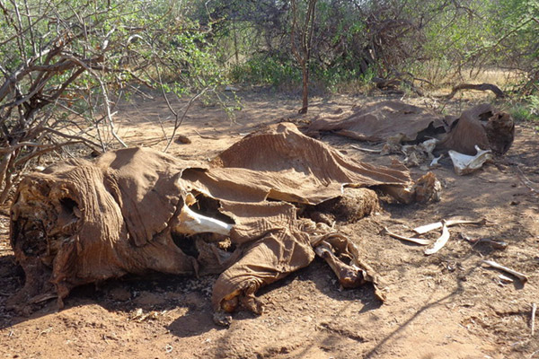 Two adult elephants killed in close proximity in northern Kenya. Clustered kills are a sign of professional poaching.. Photo by: Chris Leadisimo.