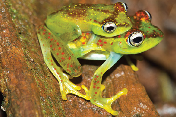 New skeleton frog from Madagascar is already Critically Endangered