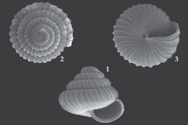 Various view of the shell of the new snail species named after Lafarge. Photo courtesy of Vermeulen et al.