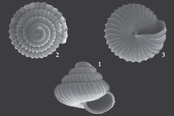 Diferentes vistas de la concha de la nueva especie de caracol designada bajo el nombre de Lafarge. Fotografía cortesía de Vermeulen et al.