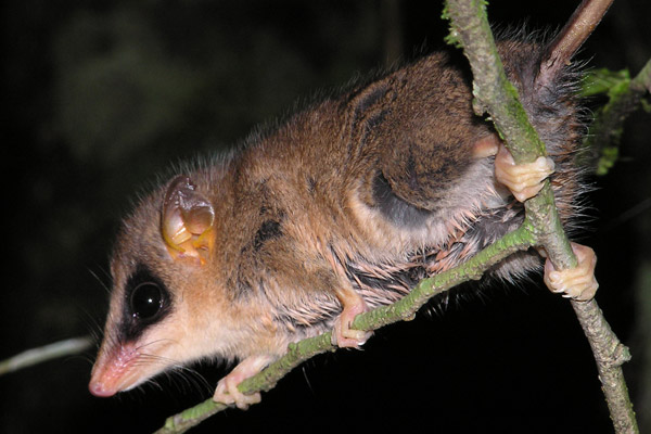 The Brazilian gracile opossum (Gracilinanus microtarsus) is a marsupial endemic to the Atlantic Forest, but is also not threatened. Photo by: Thomas Püttker.