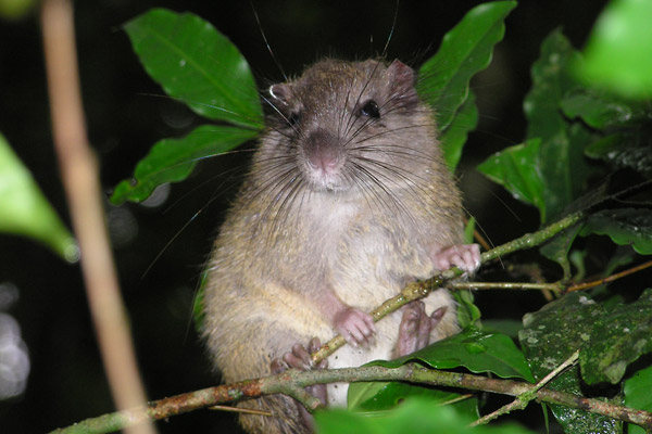 The black-spined Atlantic tree-rat (Phyllomys nigrispinus) is endemic to the Atlantic Forest. It is not considered threatened. Photo by: Thomas Püttker.