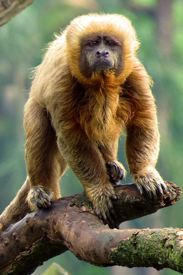 Less than 200 blonde capuchins are believed to survive. They are only found in the Atlantic Forest. Photo by: Miguelrangeljr.