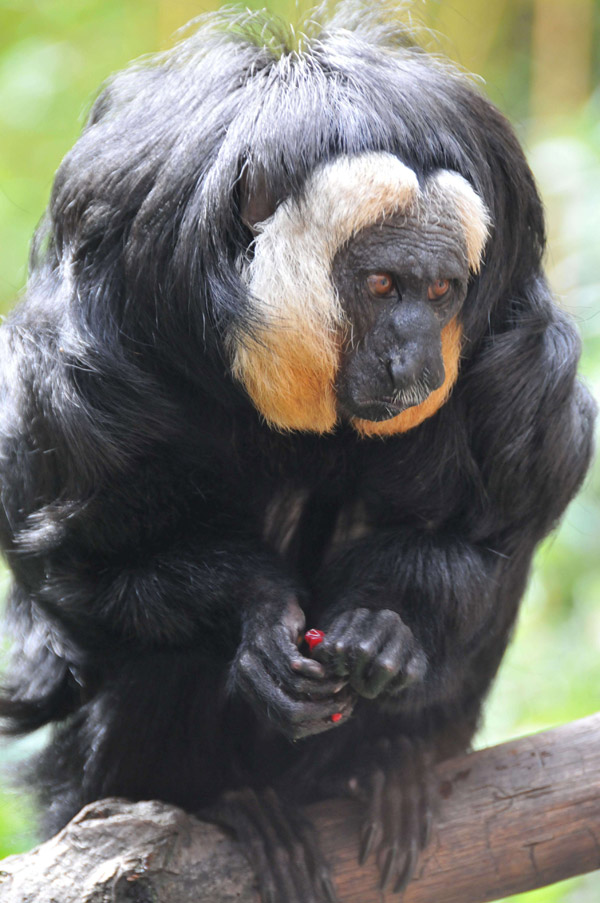 Male white-faced saki in captivity. Photo by: © Conservation International/photo by Russell A. Mittermeier.