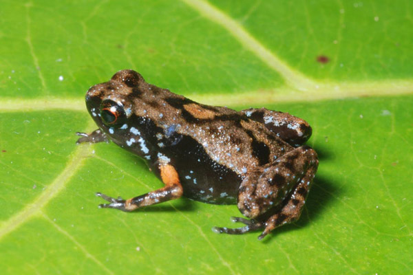 A beautiful blue-speckled frog species found only on Woodlark Island: Cophixalus amabilis. Photo by: Fred Kraus.