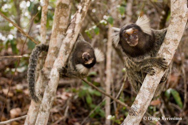 Curious common marmosets in Northeastern Brazil. Photo by: Diogo Veríssimo.