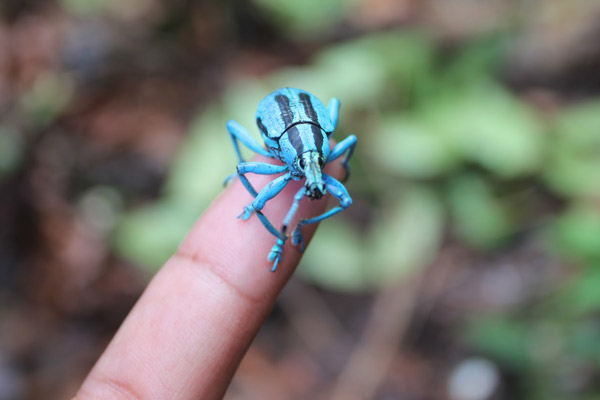 Blue weevil on Woodlark Island, possibly Bennett's blue weevil (Eupholus bennetti). Photo by: Simon Piyuwes.