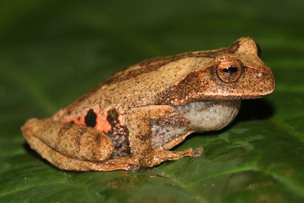 Esta especie potencialmente nueva de rana marsupial, del género Gastrotheca, tiene una bolsa dorsal donde se desarrollan las crías recién nacidas. Foto por: Luis Mamani.
