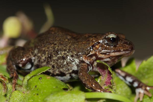 Rana potencialmente nueva del género Bryophryne. Esta especie no tiene etapa larval. Foto por: Luis Mamani.