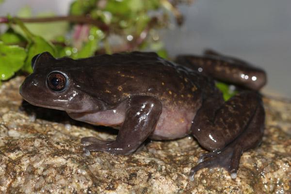 Rana potencialmente nueva del género Telmatobius. Esta especie es casi completamente acuática. Foto: Luis Mamani.