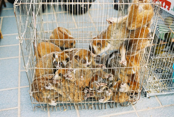 Slow lorises confiscated in Thailand in the illegal pet trade. Photo by: The Little Fireface Project.