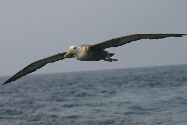 Marine birds, like this albatross, are common victims of fisheries. Photo by: ProDelphinus.