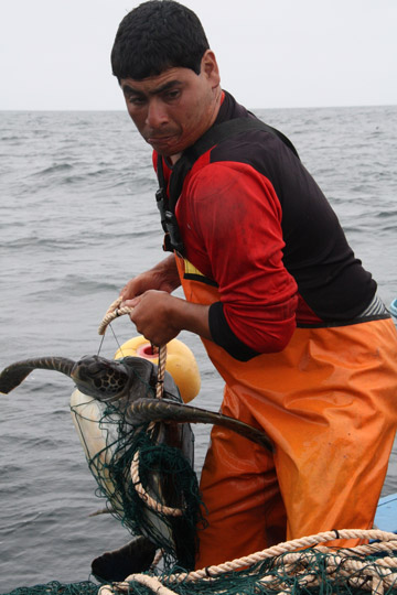 Sea turtles are often caught as bycatch. Photo by: ProDelphinus.