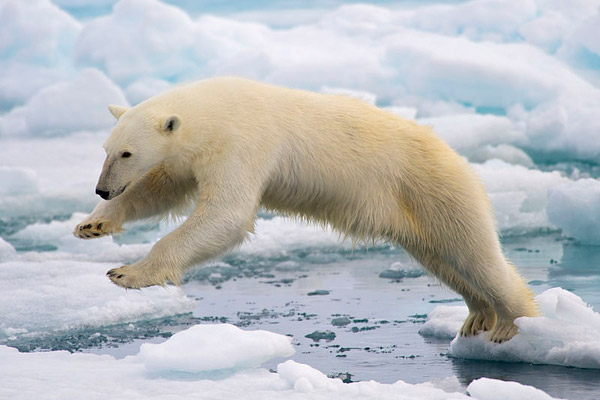Polar bear leaping in Spitsbergen Island, Svalbard, Norway. Photo by: Arturo de Frias Marques/Creative Commons 4.0.