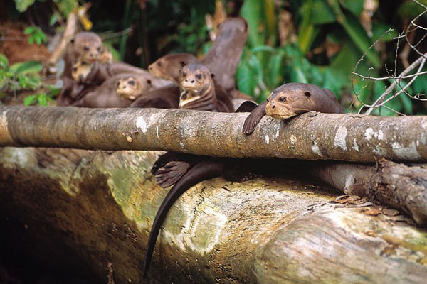 Giant river otter family group. Photo by: Frank Hajek.