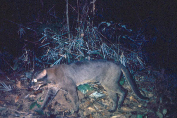 Another color morph of an Asiatic golden cat in Myanmar. Photo by: WCS Myanmar Program.