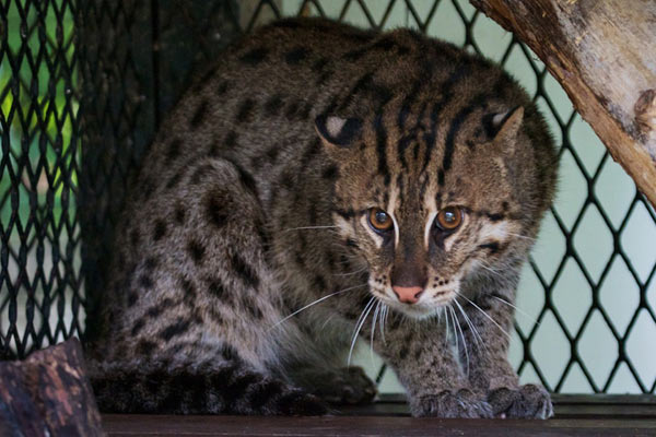 Fishing cat in the Yangon Zoological Gardens. Photo by: Robert Tizard.