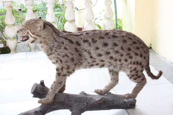 A taxidermy of a fishing cat from a souvenir shop in Yangon, Myanmar. While most small wild cats aren't targeted by hunters, they are sometimes still killed. Photo by: Ag Myo Chit.