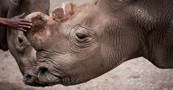 With death of rhino, only six northern white rhinos left on the planet