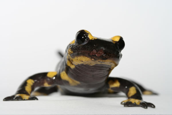 Fire salamander with severe B. salamandrivorans infection, evidenced by skin lesions. Photo by: Frank Pasmans.