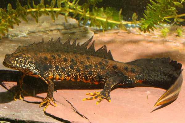 The great crested newt, a protected species in Europe, is among the species that rapidly die once infected. Photo by: Frank Pasmans.
