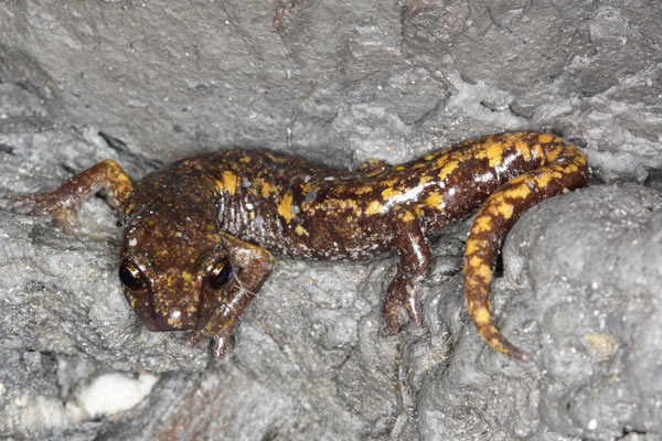 Strinati's cave salamander (Hydromantes strinatii) from France and Italy is considered Near Threatened already and dies rapidly after infection in lab conditions. The disease hasn't spread to France of Italy yet, but experts believe it's only a matter of time. Photo by: Frank Pasmans.