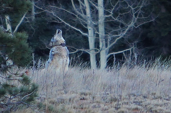 A photo of what is believed to be a gray wolf sporting an inactive radio collar in forests just north of the Grand Canyon. Photo courtesy of the Arizona Game and Fish Department.