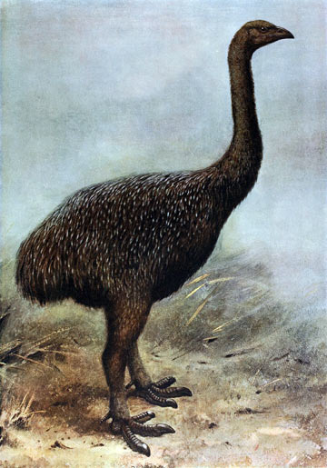 An artist's restoration of an upland moa (Megalapteryx didinus). Image by: George Edward Lodge.