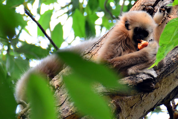 A juvenile gibbon eating fruit at Huai Kha Khaeng Wildlife Sanctuary. Gibbons are important food dispersers. Photo by: Tommaso Savini, Conservation Ecology Program, King Mongkut's University of Technology Thonburi.