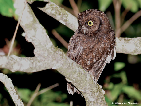 The Anjouan scops owl. Photo by: Alan Van Norman.